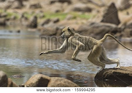 Baboon Leaping Over Rocks in River