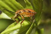 Shield bug also known as stink bug on a plant. poster
