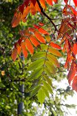 Vibrant red green Tree of Heaven (Ailanthus altissima) leaves in fall invasive species poster
