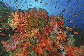 School of sea goldies amongst soft coral reef poster