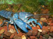 cobalt blue lobster in aquarium poster
