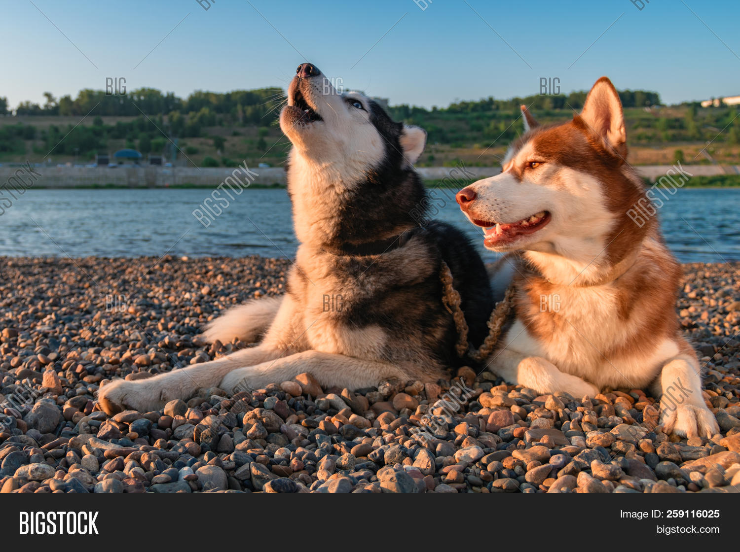 Couple Cute Dogs Howl Image Photo Free Trial Bigstock