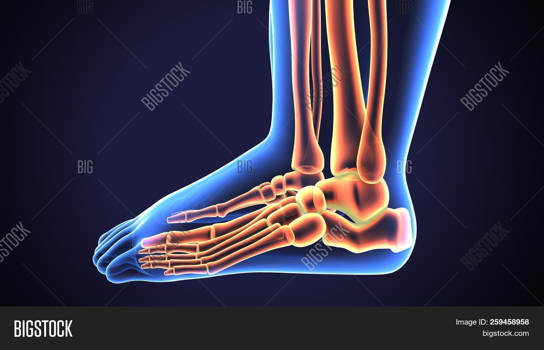 3d Rendered Anatomy Image Photo Free Trial Bigstock