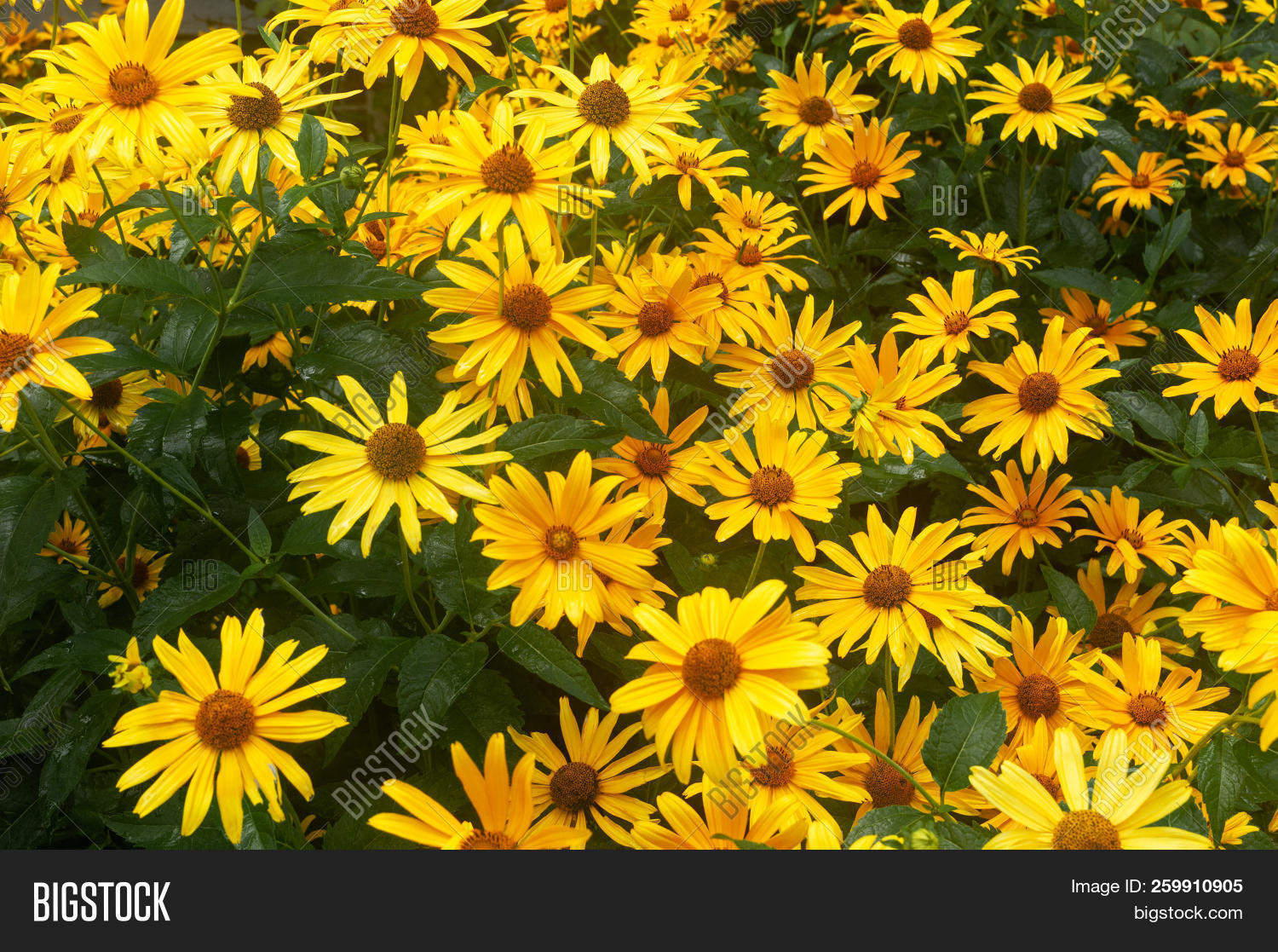 Big Yellow Daisies. Large Yellow Flowers Day