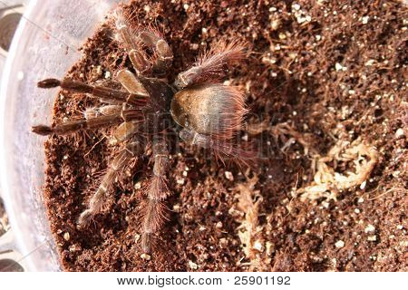 """a """"Goliath birdeater tarantula"""" (Theraphosa blondi) sits in its cage just waiting to get free! poster"""