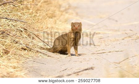 Yellow Mongoose In The Kalahari