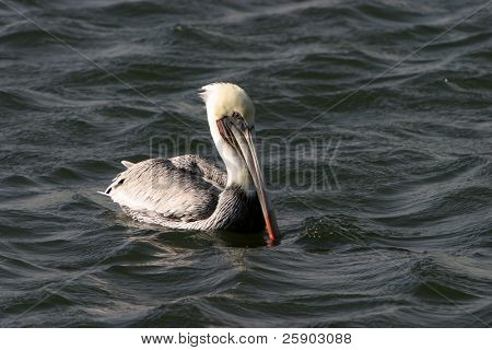 "brown pelican ""Pelecanus occidentalis"" in the ""Bolsa Chica"" wetlands in ""Orange County"" california poster"