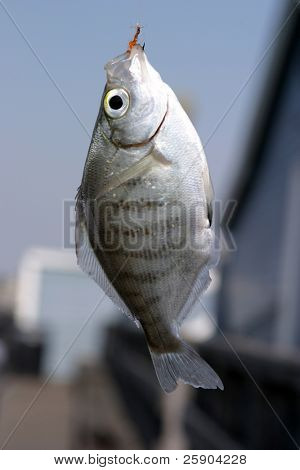 "a fresh caught perch ""Perca flavescens"" hangs with the hook in its mouth poster"