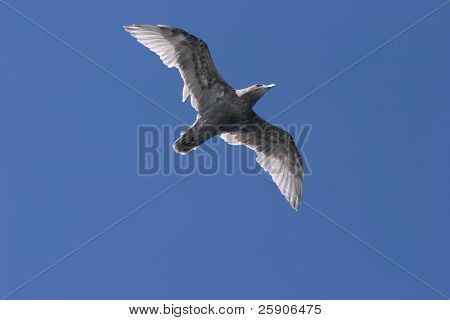 a seagull flys overhead in seattle washington