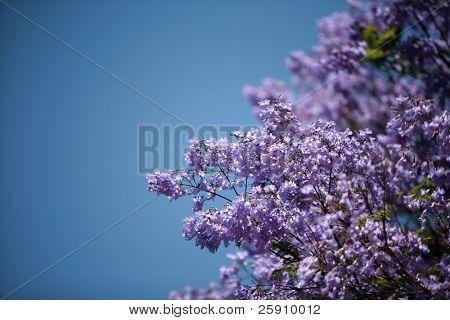 a beautiful jacaranda tree with its purple flowers against a blue sky