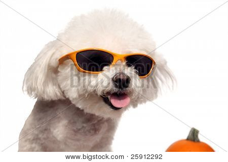 Fifi a Bichon Frise isolated on white smiles while wearing her cool sunglasses