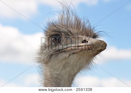 Portrait of an ostrich with blue sky and white clouds poster