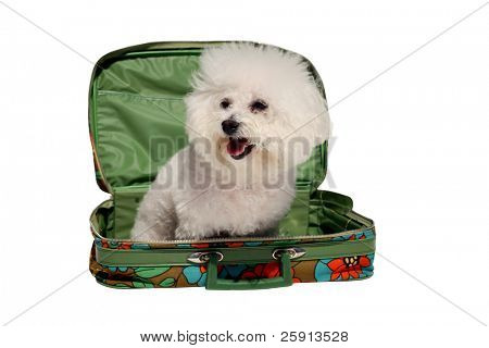 fifi the bichon frise sits in a 1970s era suitcase representing traveling with your pet isolated on white