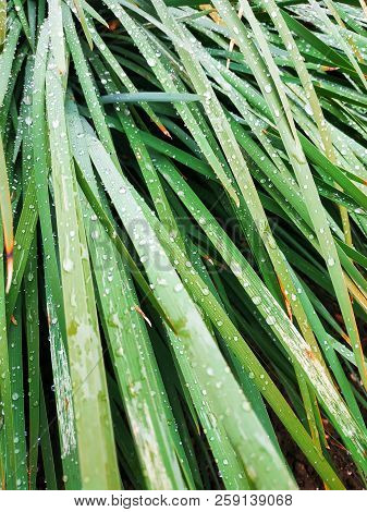 Fresh Green Grass With Dew Drops Close Up. Water Driops On The Fresh Grass After Rain. Light Morning
