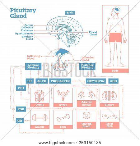 Pituitary Gland Of Endocrine System.medical Science Vector Illustration Diagram.biological Scheme Wi