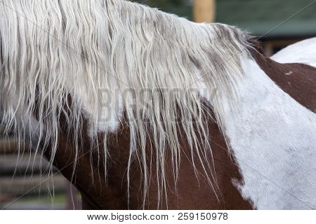 White Mane On Pinto Ranch Horse In Wyoming