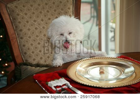 a pure breed bichon frise, sits at the dinning room table and demands her christmas dinner poster