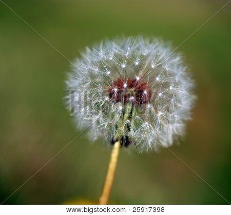 Dandelion closeup with narrow depth of field