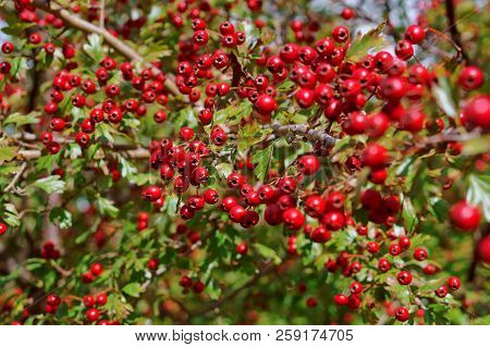 the red berries of the hawthorn, dosage hawthorn in the autumn poster