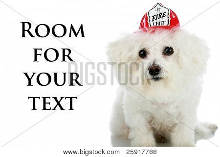 "a purebred Bichon Frise wears a ""Firemans Hat"" isolated on white with room for your text poster"