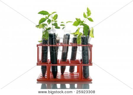 Botanical research, plants growing in test tubes in a research labratory