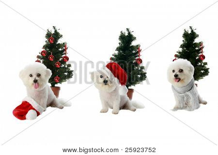 three diffrent poses of Fifi the Bichon Frise isolated on white with a christmas or winter holiday theme