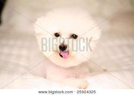 White on White portrait of Fifi the purebred Bichon Frise dog on a white feather bed with shallow depth of field views