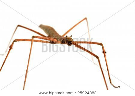 """a beautiful close up image of a  """"Carausius morosus"""" aka  'Indian"""" and """"laboratory stick insect"""" or """"walking Stick"""" isolated on white poster"""