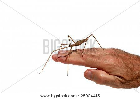 """close up image of a """"Carausius morosus"""" aka 'Indian"""" and """"laboratory stick insect"""" or """"walking Stick"""" on a mans hand isolated on white poster"""