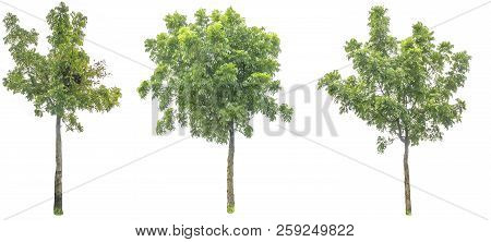 Tree Cutting On A White Background. Tree Editing The White Background