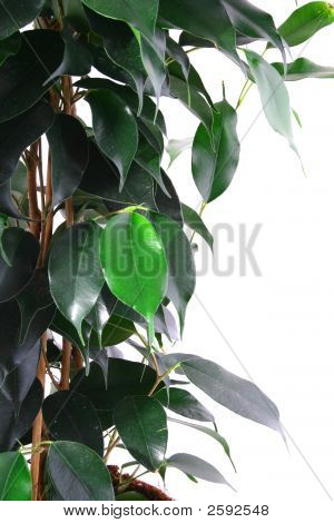 Green Ficus Tree In A Brown Pot Isolated White.