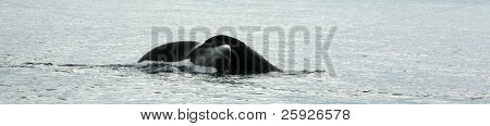 Whale Tail,  a north pacific humpback whale