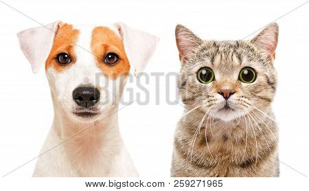 Portrait Of Cute Young Dog Jack Russell Terrier And Cat Scottish Straight, Isolated On White Backgro