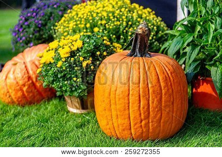 Orange Pumpkin And Chrysanthemums In The Garden. Garden Decor Of Flowers And Pumpkins. Copy Space Fo