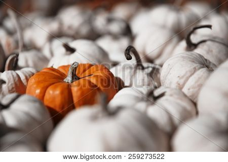 Bright Orange Pumpkin Among White Pumpkins. Standing Out Of The Crowd. Selective Focus. Blurred Back