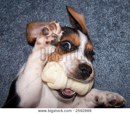 Cute Playful Beagle