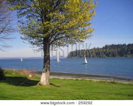 Sailboats On The Puget Sound