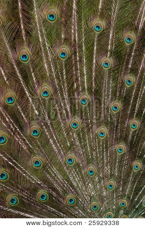Train of a male peacock (Pavo cristatus)