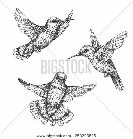Hand Drawn Humming Birds Isolated On White. Monochrome Flying Hummingbirds Set.  Front And Side View