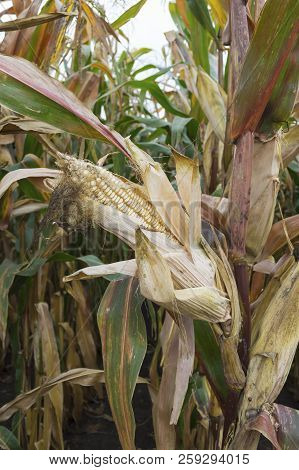 Ripe maize ear in cultivated agricultural corn field ready for harvest picking poster
