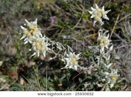 Edelweiss flower (Guaphalium Leontopodium) on Olkhon Island on Lake Baikal in Siberia, Russia