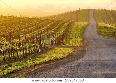 Vineyards landscape at sunrise in California, USA