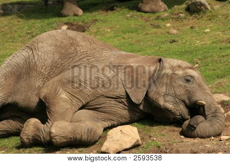 Elephan Sleep