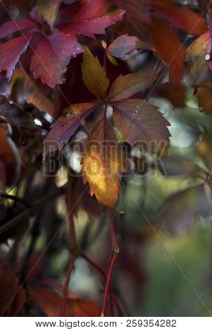 Virginia Creeper (woodbine) Leaves Turn To Hues Of Red And Russet In Autumn.