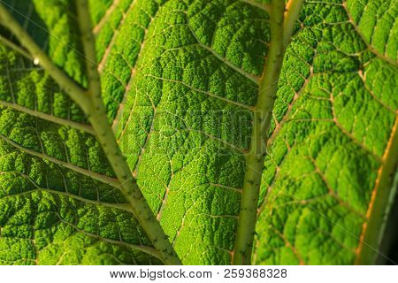 Abstract Close Up Green Leaf With Wrinkles And Veins