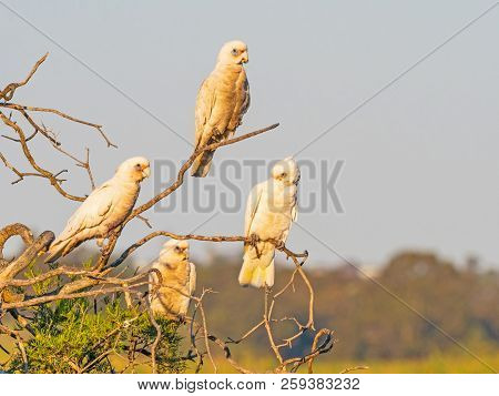 Four Little Corellas Perched On A Tree At Herdsman Lake In Perth, Western Australia.