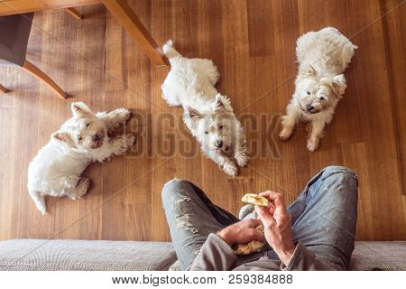 Dogs Begging For Food: Pack Of Three Hungry West Highland White Westie Terriers Watching Man Eat Pan