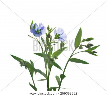 Blue Flax Flowers Isolated On White Background .