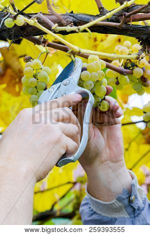 Grapes Harvest. Farmer Is Cutting A Ripe White Grapes In Vineyard