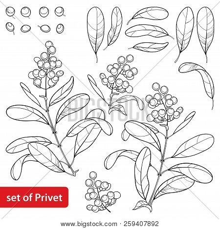 Vector Set With Outline Poisonous Plant Privet Or Ligustrum. Fruit Bunch, Berry And Ornate Leaf In B